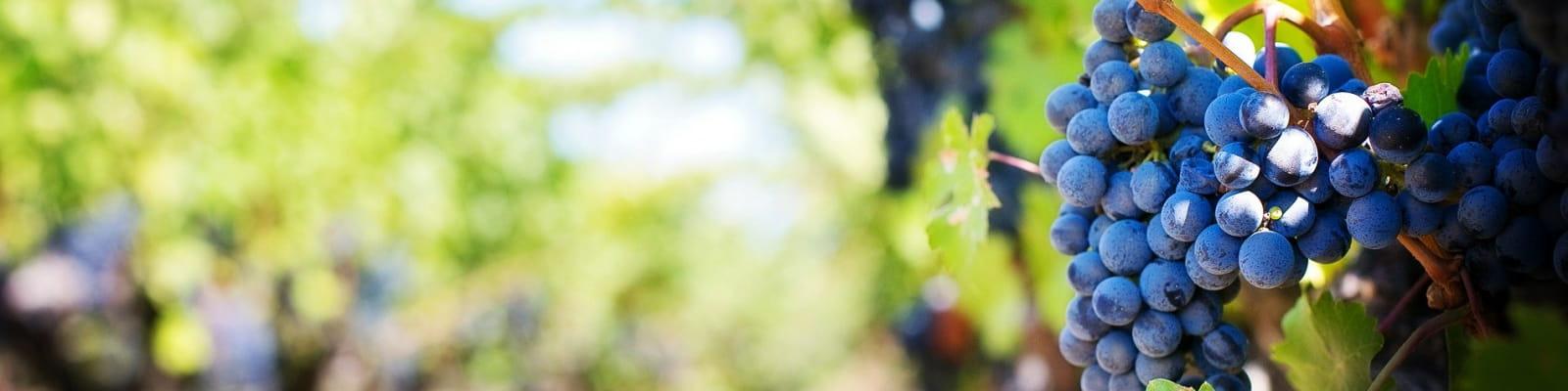 vigne grappe vin