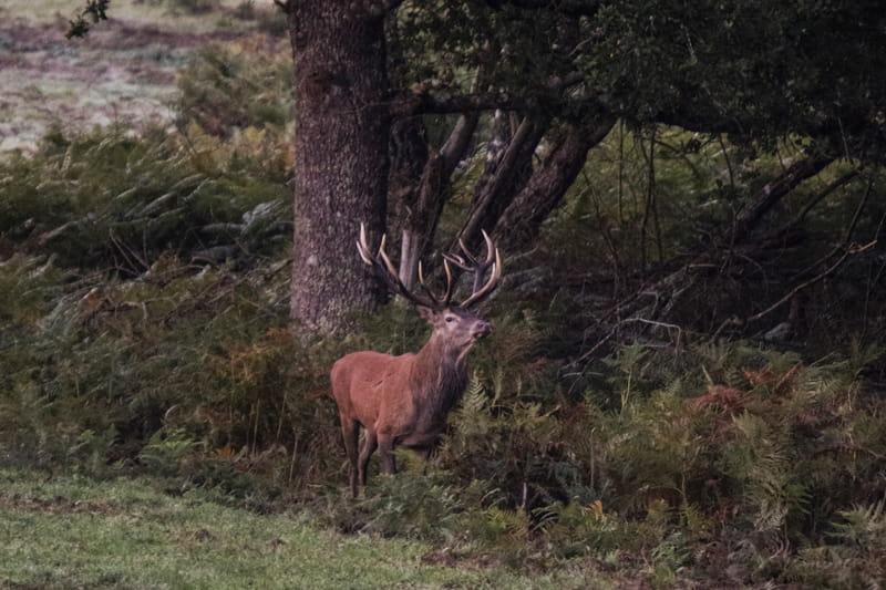Découvertes Sologne Nature - Le brame du Cerf rial lover