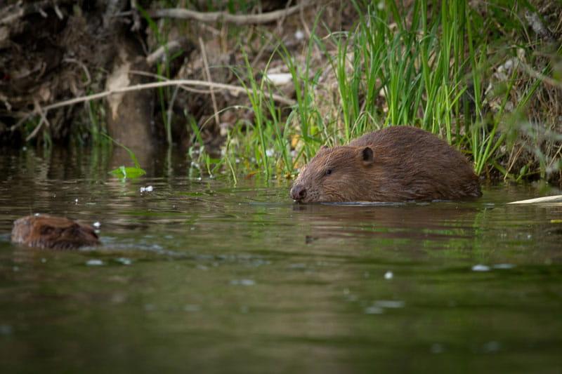Balade à la découverte du castor avec la Maison de la Loire